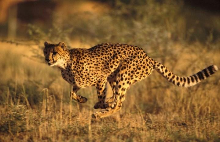 Asiatic-Cheetah-2-934x
