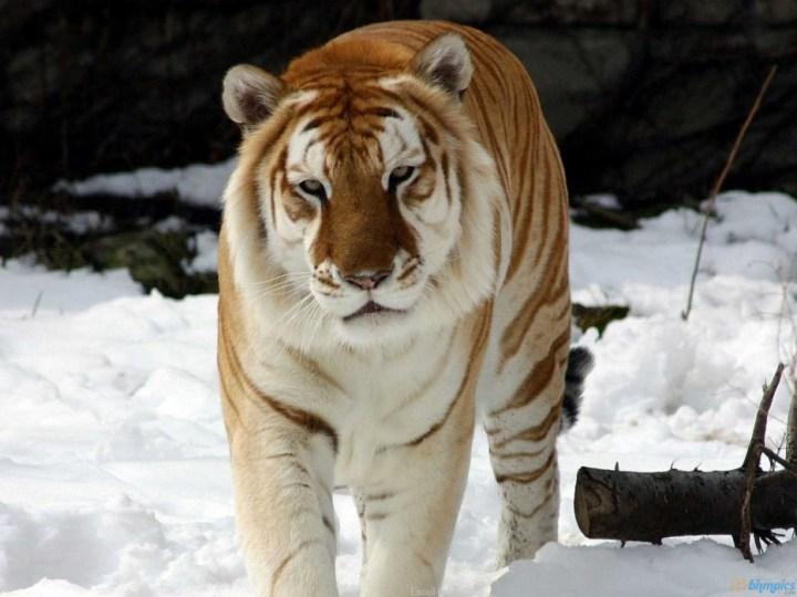 Golden-Tabby-Tiger-2-934x