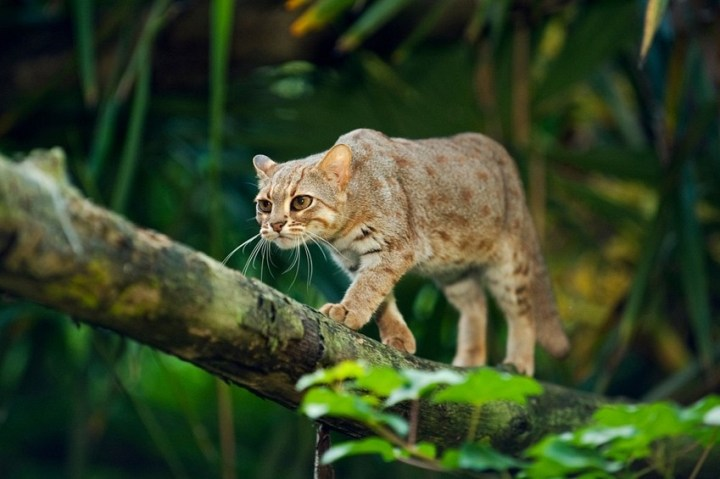 Rusty-Spotted-Cat-934x