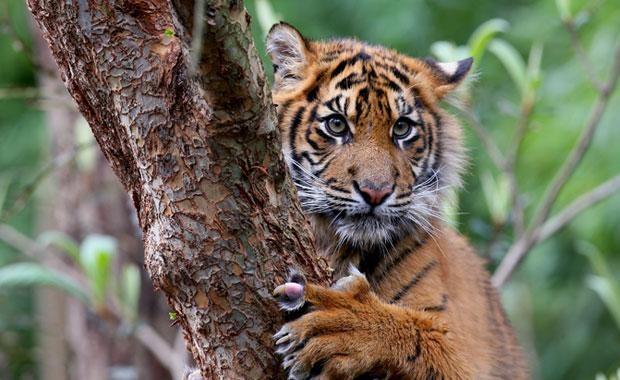 Sumatran-Tiger-1-620x