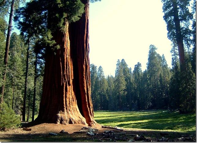 giantsequoiaandmeadow_6