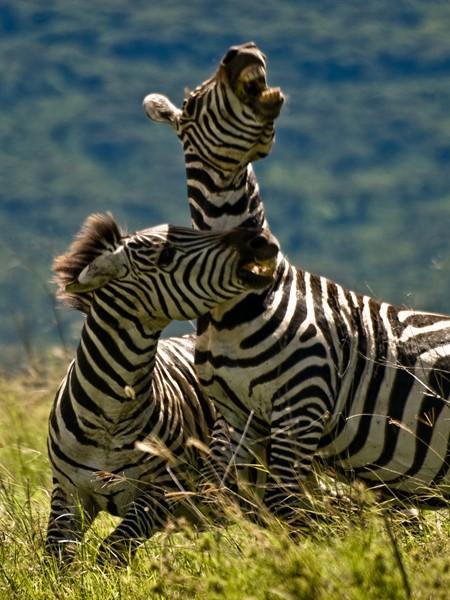 Two zebras fighting in the Ngorongoro Crater, Tanzania