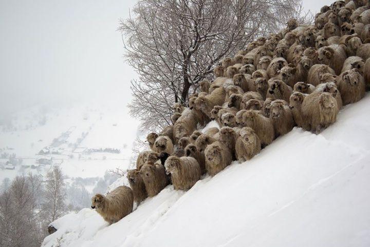 sheep-herds-around-the-world-21_result