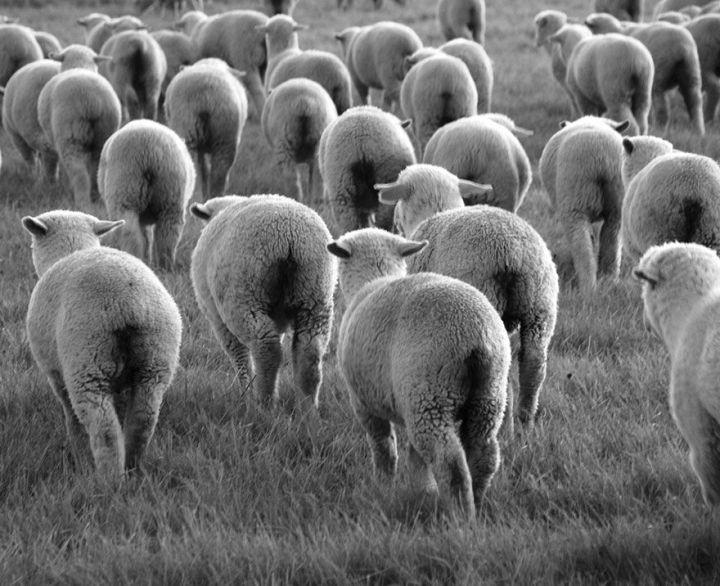 sheep-herds-around-the-world-53_result
