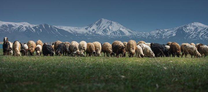 sheep-herds-around-the-world-56_result