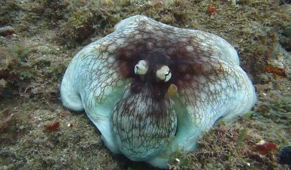 Умный осьминог прогнал дайвера, приняв образ лешего