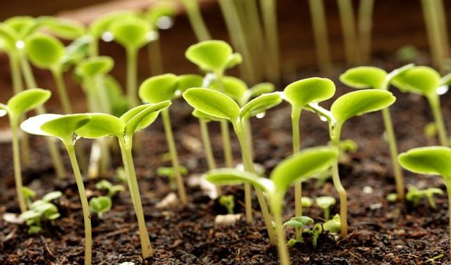 Выращивание хорошего урожая белокочанной капусты на даче