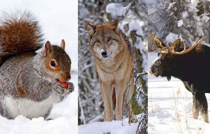 Холодно ли зверям зимой?