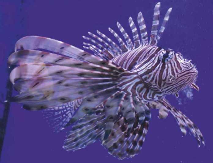 Рыба-лев