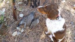 Dusky grouse, chukar, Brittany