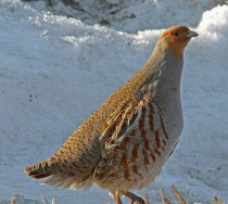 Hungarian Partridge