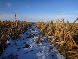 Corn rows in snow