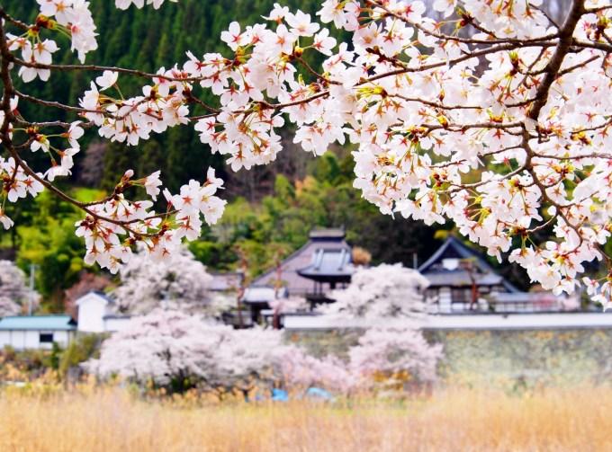 千曲市桜名所お花見スポット大雲寺