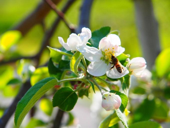 りんごの花満開上山田四十八曲峠