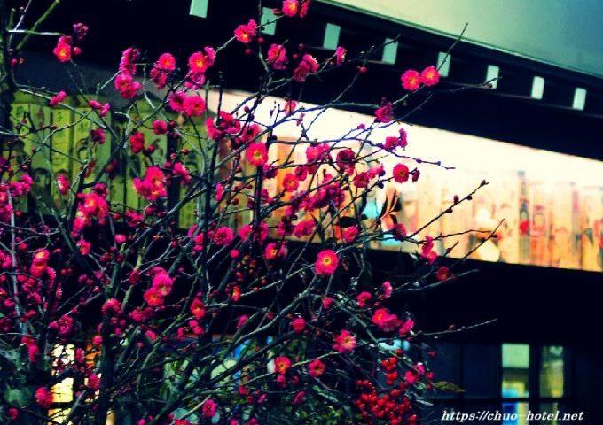 戸倉上山田温泉中央ホテル梅の花開花