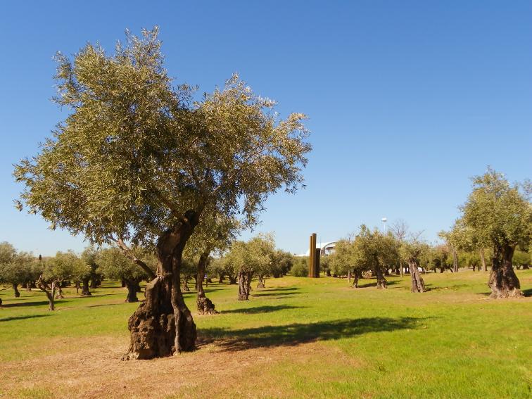 olivos del olivar de la hinojosa en el parque juan carlos I