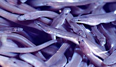 Eels face poaching threat | CapeCodOnline.com