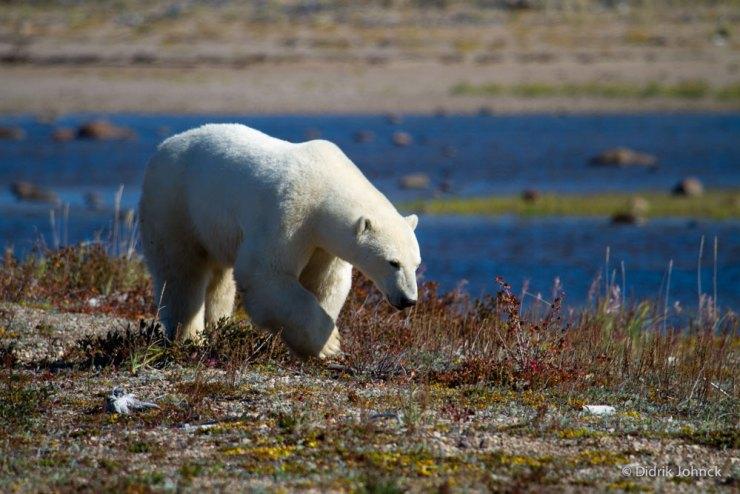 Polar bear walks along the river near Nanuk Polar Bear Lodge. Didrik Johnck photo.