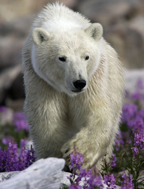 polar-bear-cub-seal-river-matt-breiter