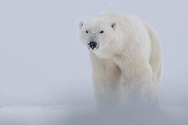 Polar bear emerges from snow squall at Dymond Lake Ecolodge. Robert Postma photo.