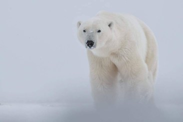 polar-bear-emerging-from-snow-squall-churchill-wild-robert-postma-1024