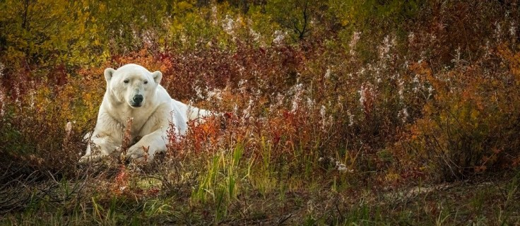 polar-bear-fall-colours-nanuk-polar-bear-lodge-steve-sinnock