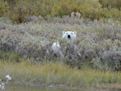 polar-bear-in-willows-nanuk--polar-bear-lodge-Kapila-Hari