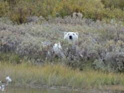 polar-bear-in-willows-nanuk--polar-bear-lodge-Kapila-Hari
