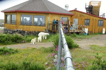 polar-bear-mom-and-cubs-seal-river-heritage-lodge-Julie-Barnett