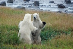 polar-bears-play-fighting-summer-at-seal-river-heritage-lodge-fred-walker