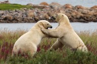 polar-bears-sparring-seal-river-heritage-lodge-judith-herrdum