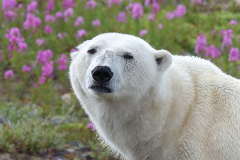 pretty-polar-bear-in-pink-and-white-churchill-wild-judith-herrdum