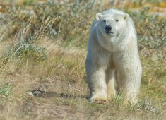 silver-summer-polar-bear-seal-river-heritage-lodge