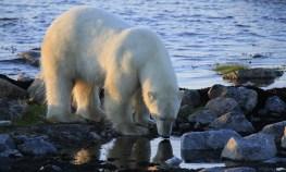 summer-polar-bear-drinking-seal-river-tiffany-obrien