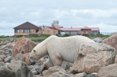 summer-polar-bear-in-front-of-seal-river-heritage-lodge