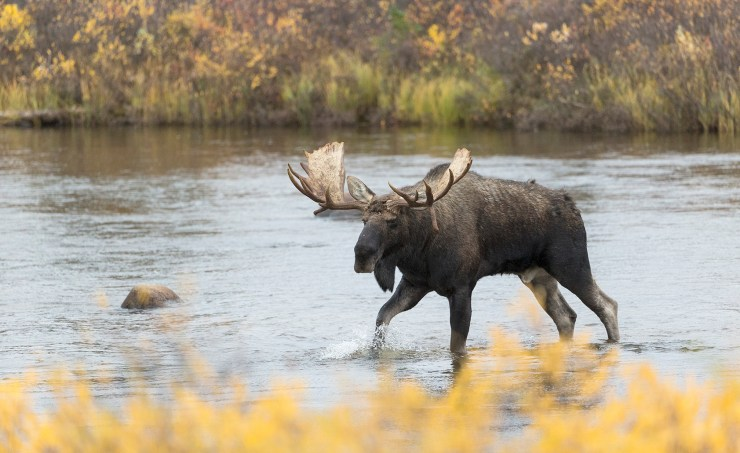 Moose. Rod Kuo photo.