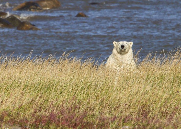 Polar bear In the grass at Seal River Heritage Lodge. Photo courtesy of Kathy Pierce.