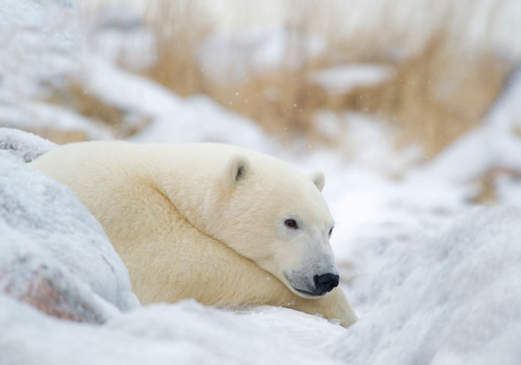 Polar bear contemplating life at Dymond Lake Ecolodge.