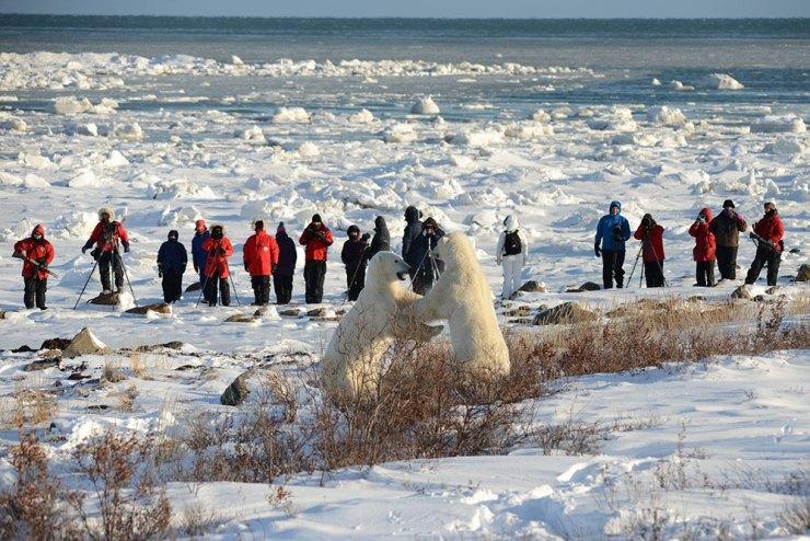 Polar bears sparring at Seal River Lodge. Bill Lyne photo.