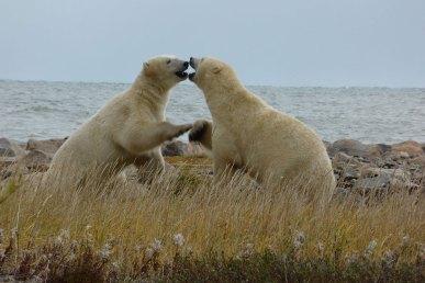 bears-playing