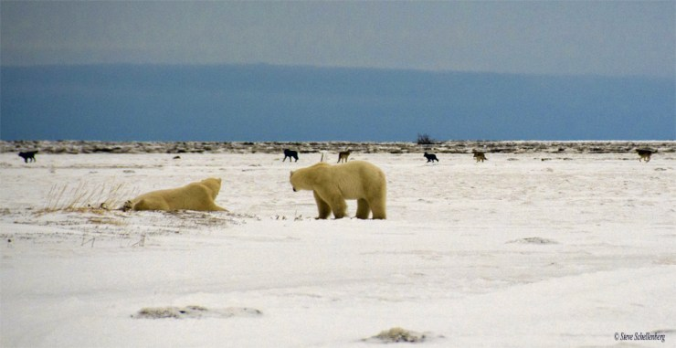 Wolf pack surrounds polar bears at Nanuk. Steve Schellenberg photo.