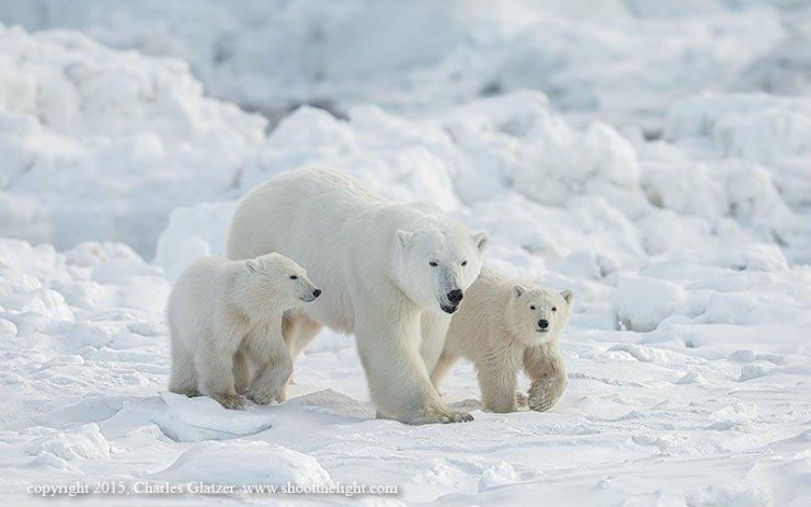 Polar mom and cubs out for a stroll at Seal River Lodge.
