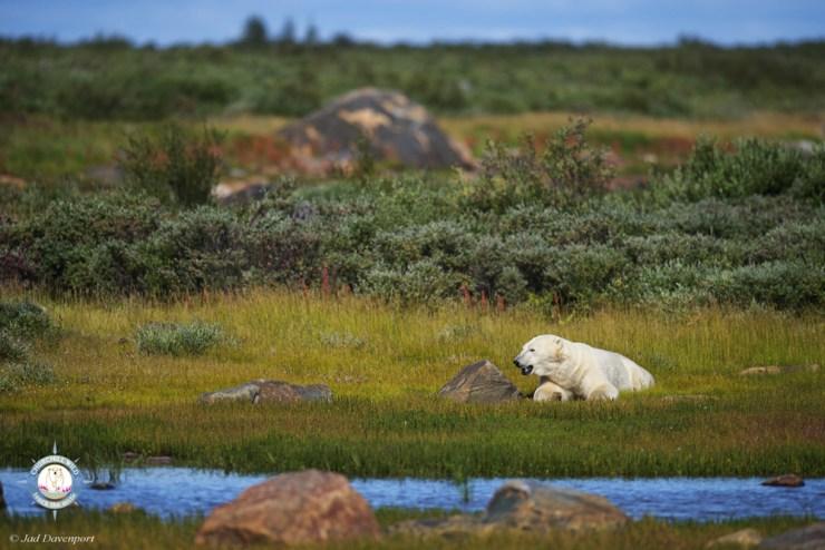 Polar bear relaxing near Seal River Heritage Lodge. Photo courtesy of Jad Davenport.