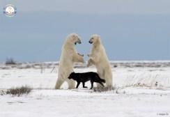 polarbearswolvesnanuk1000