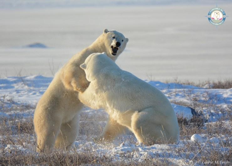 PolarBear2LaurieMcLeishChurchillWild