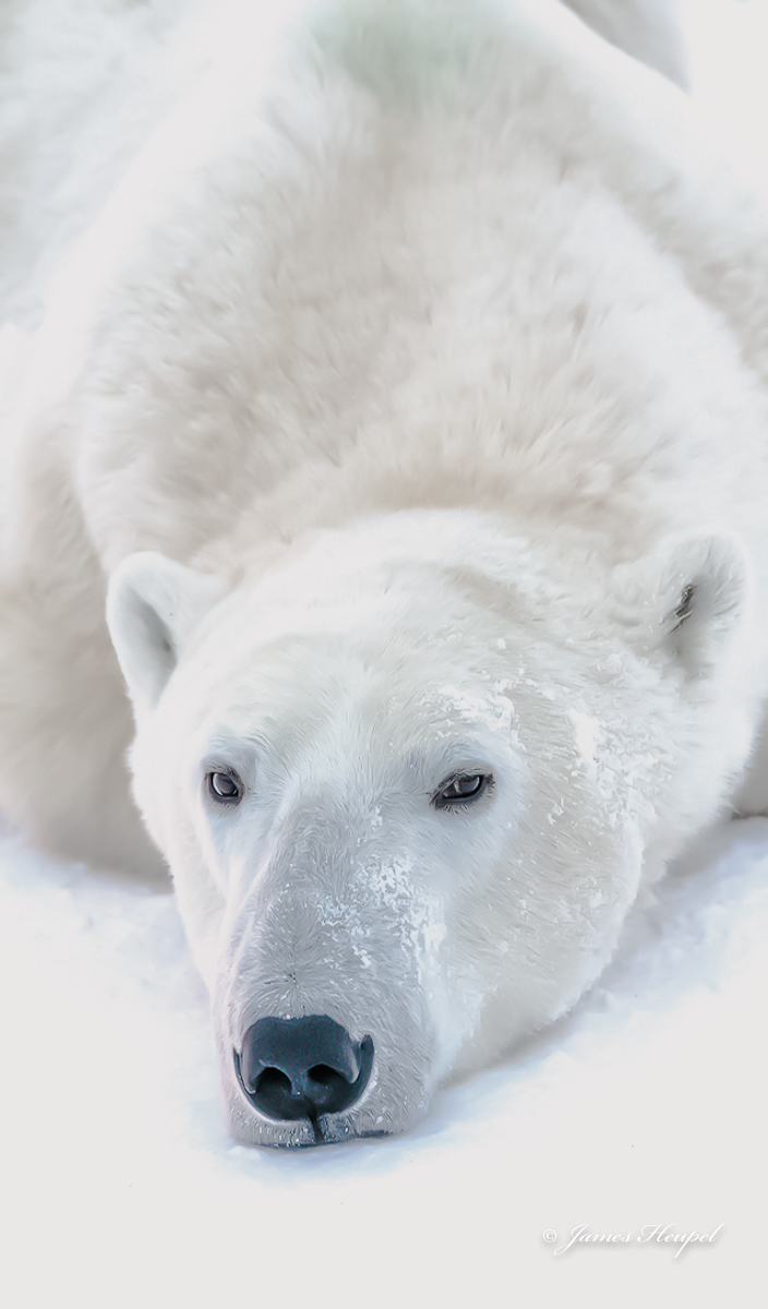 Polar bear lies on the icy ground, waiting... James Heupel photo.