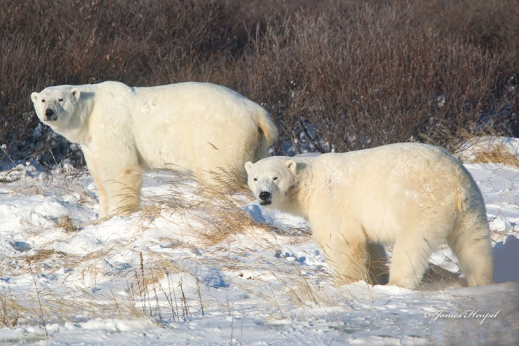 Polar bear couple at Seal River Heritage Lodge. James Heupel photo.