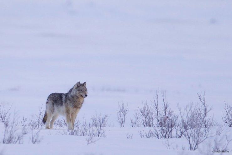 WolfNanukSkillen3