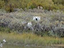Polar bear in bushes near Nanuk Polar Bear Lodge.