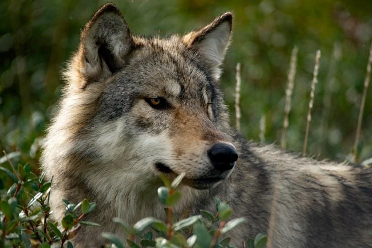 Wolf. Cheryl Hnatiuk photo.